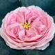 FMM - Cutter A very english rose